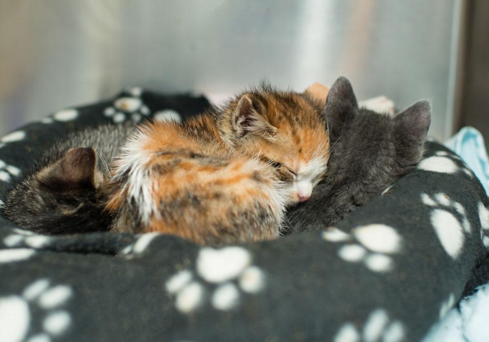 Bottle Babies at Kitten Rescue's Kitten Nursery