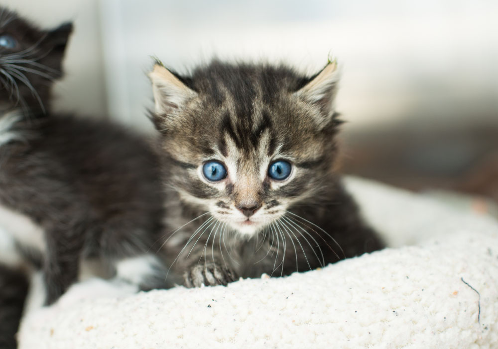 Brown-Grey Tabby Kitten at Kitten Rescue