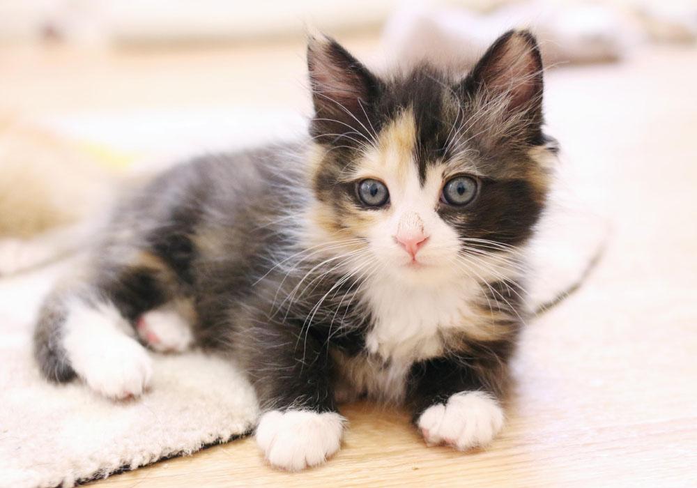Fluffy Calico Kitten at Kitten Rescue's Kitten Nursery