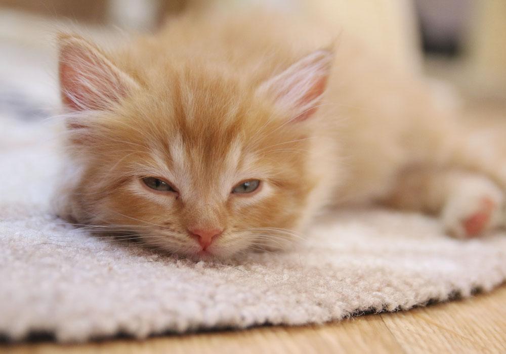 Orange Kitten at Kitten Rescue's Kitten Nursery