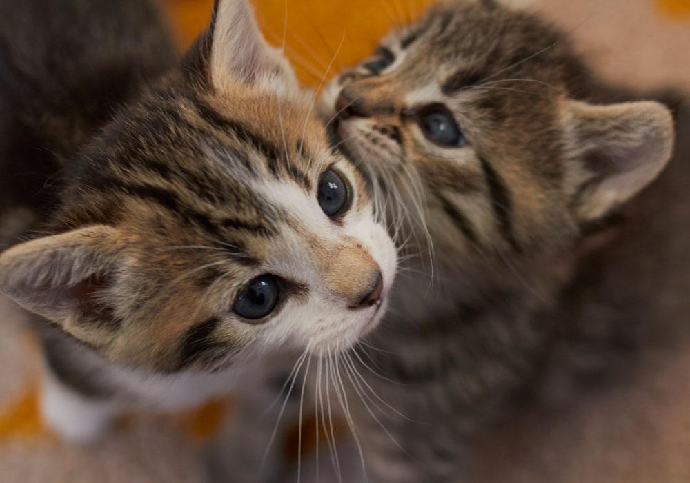 Kittens Playing at Kitten Rescue's Kitten Nursery