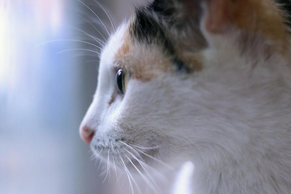 Feline Leukemia (FeLV)