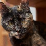 Sponsor a Cat —Belle