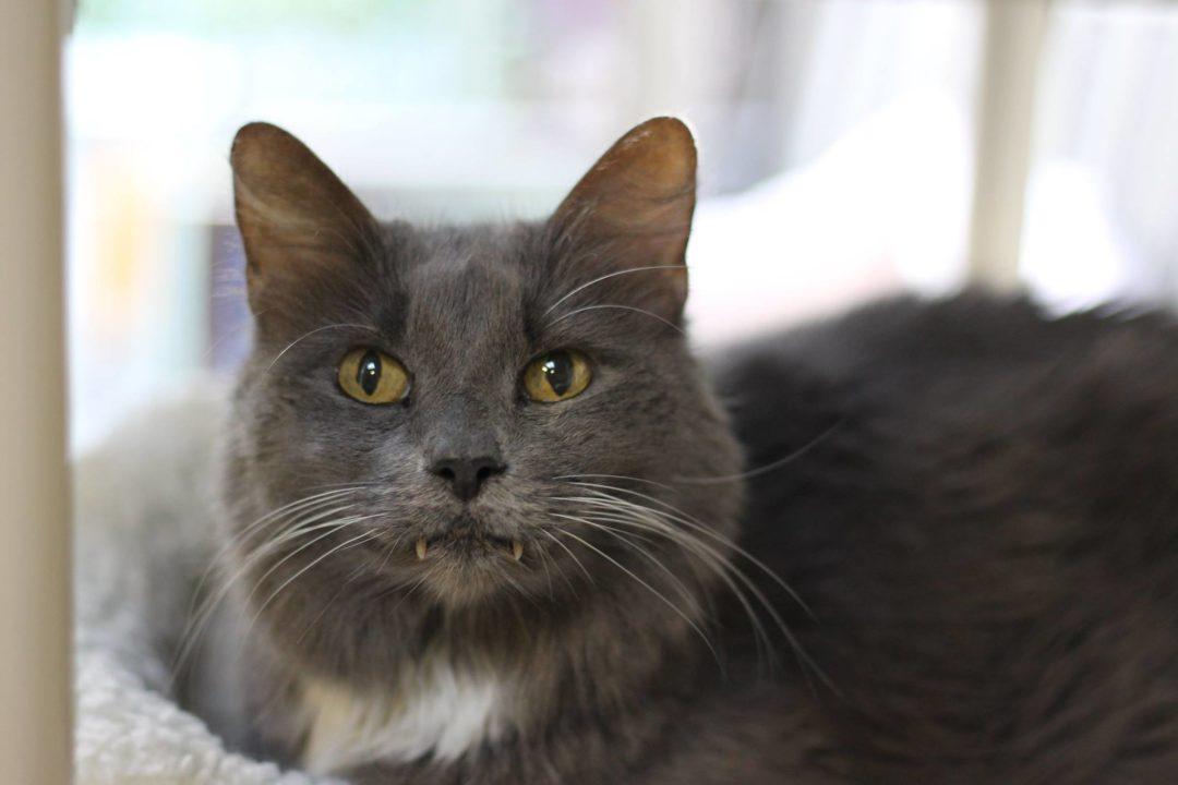 Sponsor a Cat —Grey Lady