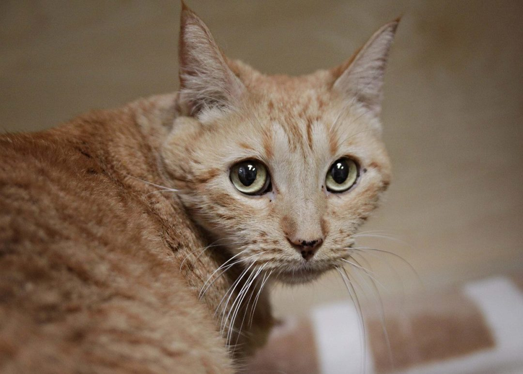 Sponsor a Cat — Pumpkin