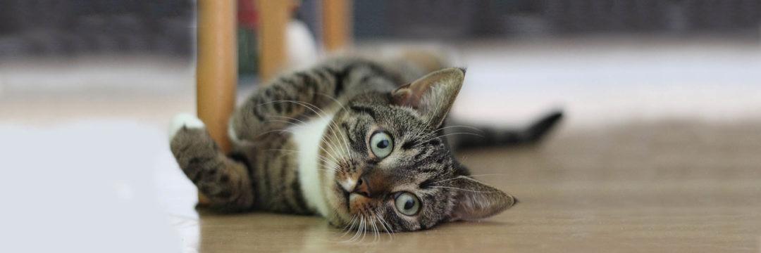 Why Adopt • Kitten Rescue