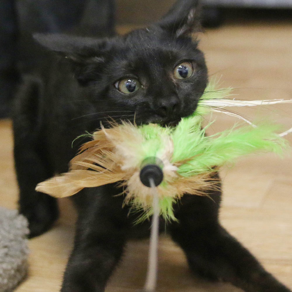 Black Kitten with the Kitten Crazies