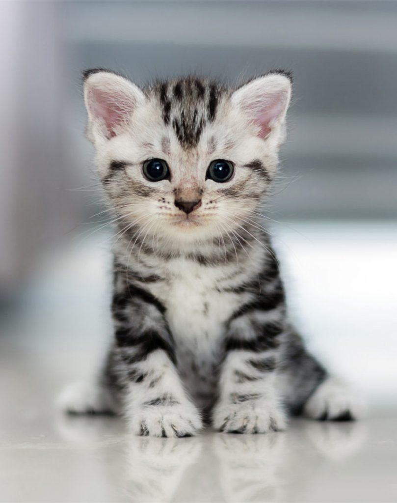 Can Cats Get Leukemia