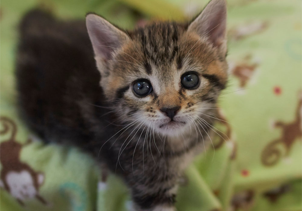 Brown-Grey Tabby Kitten at Kitten Rescue