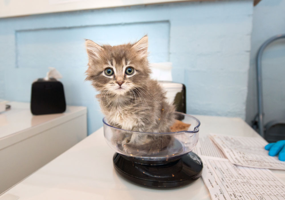Fluffy Grey Tabby Kitten at Kitten Rescue's Kitten Nursery