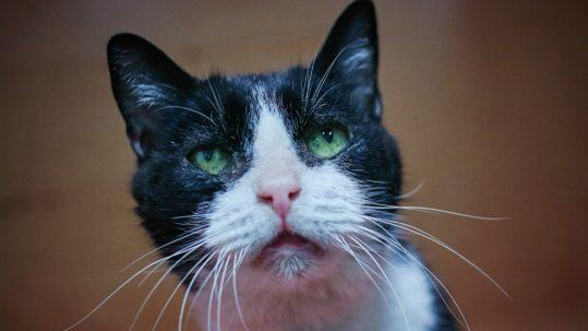 Sponsor a Cat —Dandy