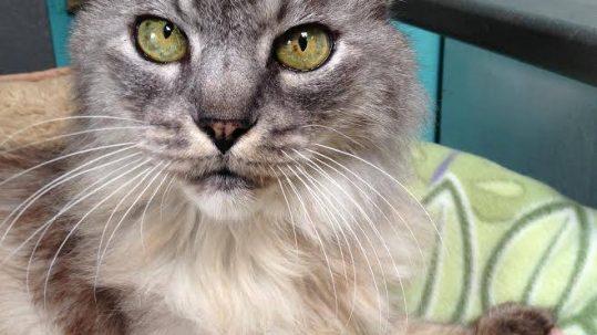 Sponsor a Cat —Duchess