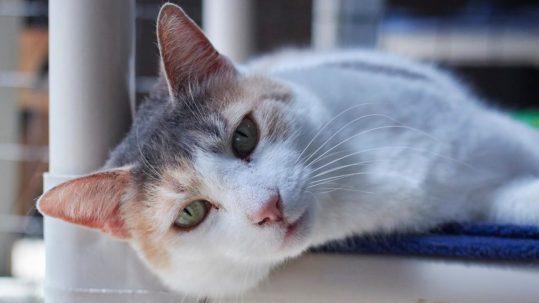 Sponsor a Cat —Queen Teuta