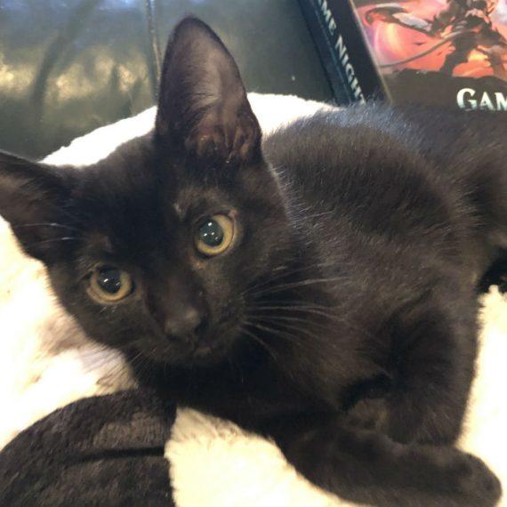 Available Animals Kitten Rescue
