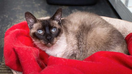 Ming, a Kitten Rescue Sponsor Cat