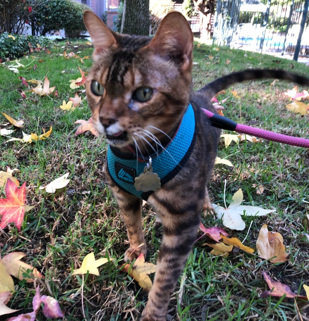 Louie-the-Bengal