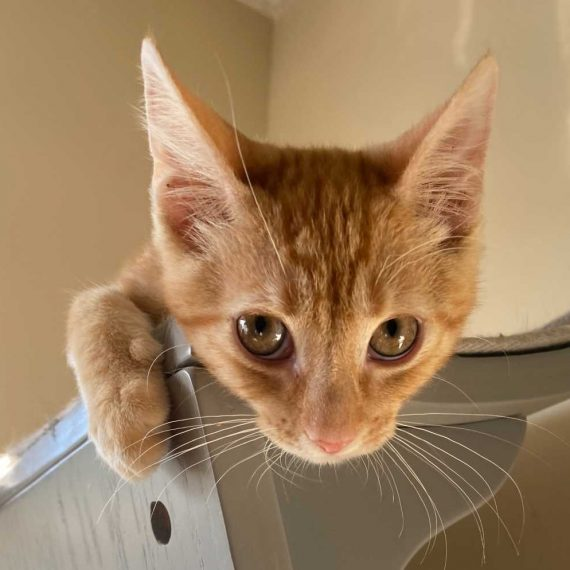 Orange Tabby Archives Kitten Rescue